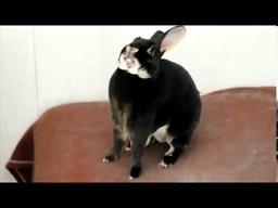Rozwrzeszczany królik