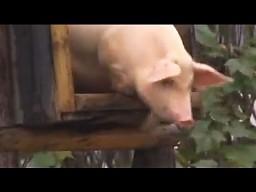 Świnie nie potrafią latać, ale..