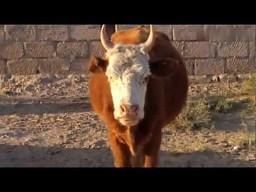 Krowa o luźnym języku