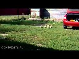 Posłuszne kaczki z Rosji