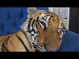 Enzo - tygrys kanapowy