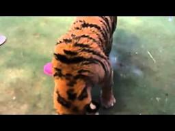 Reakcja tygrysa na świeże mięso