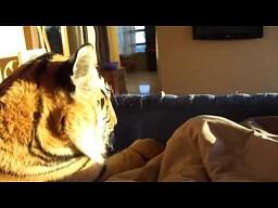 Pobudka z tygrysem w łóźku
