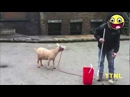 Kozy wrzeszczące jak ludzie