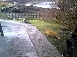 Kocie polowanie na kaczkę