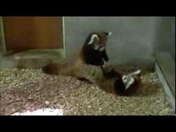 Atak czerwonej pandy