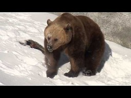 Niedźwiedź po zimowej hibernacji