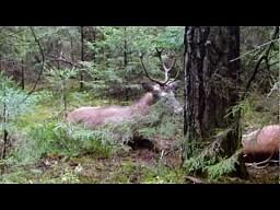 Ratowanie jeleni