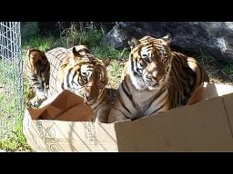 Czy duże koty też lubią pudełka?