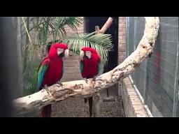 Gangsta papugi
