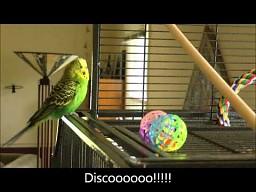 Uzdolniona wokalnie papużka