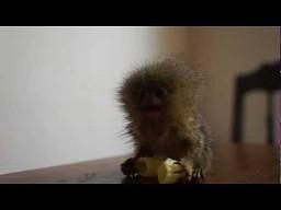 Małpa żre makarona