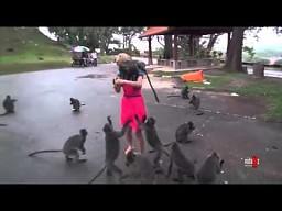 Dziewczyna karmi natarczywe dzikie małpki