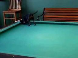 Pies uwielbia grać w bilard