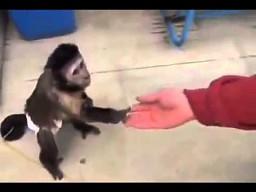 Spragniona małpka kupuje napój w maszynie
