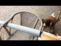 Psia zabawa piłką tenisową