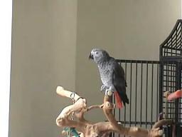 Muzyczna papuga
