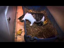 Kocia kacza mama