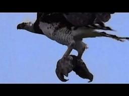 Harpia wielka porywa leniwca z drzewa