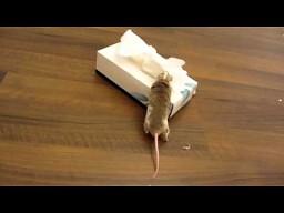 Mysz przynosi swojej pani chusteczke