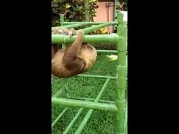 Odgłosy zmęczonego leniwca