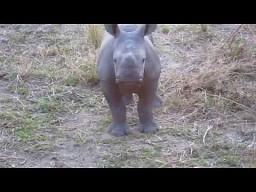 Niezdecydowany nosorożec