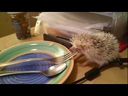 Biały jeż kradnie widelec