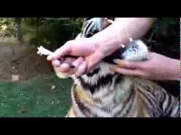 Usuwanie zęba tygrysowi