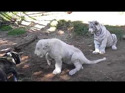 Buldog, lew i tygrys