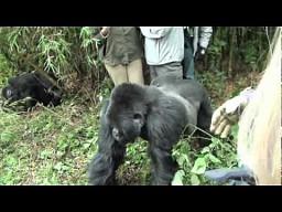 Podstępny goryl
