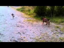 Staffordshire bull terrier kontra kot