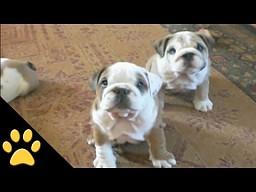 Bulldogi są niesamowite
