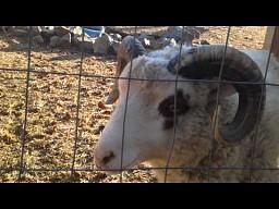 Owca z przepitym gardłem