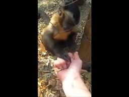 Małpka uczy człowieka jak rozgniatać suche liście