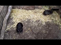 Dwa małe wombaty