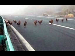 Dlaczego prawie tysiąc kurczaków przeszło przez ulicę?