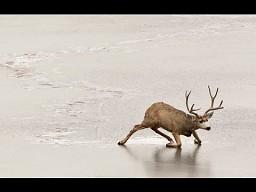 Jelonek pływający po lodzie - piosenka