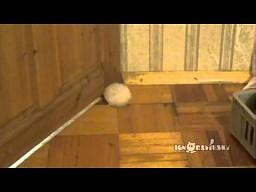Gruby chomik i drzwi