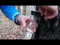 Domowa produkcja brzozowego soku