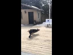 Pies próbuje złapać piłkę