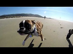 Duncan Lou Who - dwunogi bokser biega po plaży