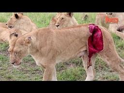 Na ratunek rannej lwicy