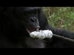 Szympans przygotowuje ognisko, a następnie opieka nad nim cukrowe pianki
