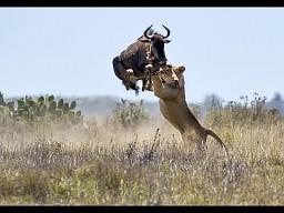 Antylopa gnu atakuje lwicę...