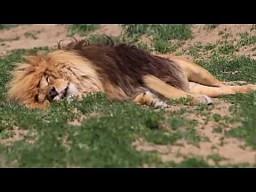 Groźnie śpiący lew
