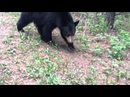 Bliskie spotkanie z niedźwiedziem czarnym