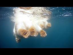 Niesamowite niedźwiedzie polarne