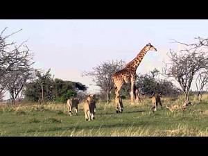 Mama żyrafa i zgraja lwów