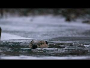 Źle zachowujące się bobry || BBC Two