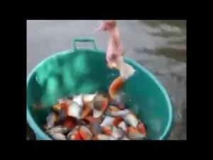 Łowienie piranii w Brazylii